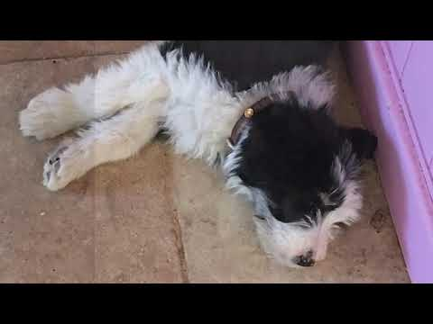 Bearded Collie Puppy to 1 year old