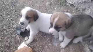 Minik köpek yavruları 1aylik sevimli kopek yavruları sokak hayvanları yavruları