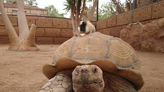 Guinea Pig sits on a Giant Turtle (Cutest thing ever)