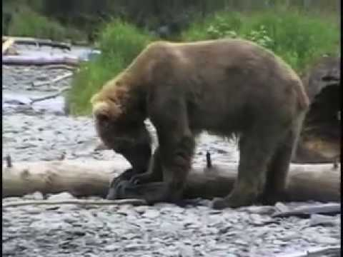 GRIZZLY BEAR CHASES FISHERMEN - THEY FIGHT BACK!