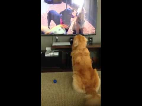 Bruce Golden Retriever watching DogTV