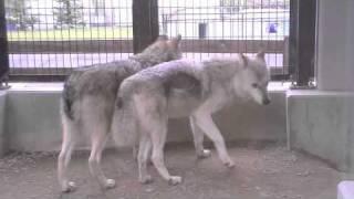 円山動物園のシンリンオオカミ、ジェイ(父/5歳)、キナコ(母/10歳)、ルー...