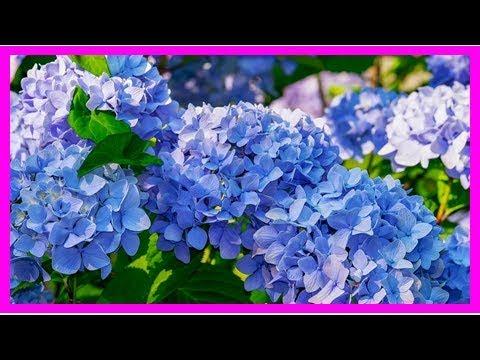 Hortensien Pflanzen: Mit Diesen Tipps Ziehst Du Sie Im Topf, Beet Oder Als Hecke