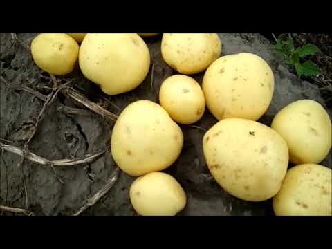 Семена картофеля: сорт Ривьера, cорт Эволюшен.