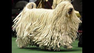 Топ Самых Дорогих Пород Собак 😱 Собаки для Богачей