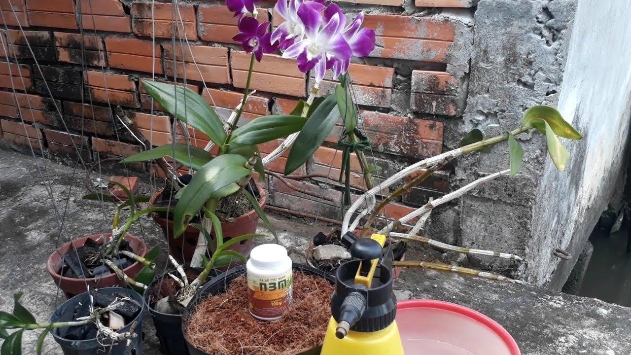 Kỹ thuật giâm cành phong lan tạo cây con nhanh