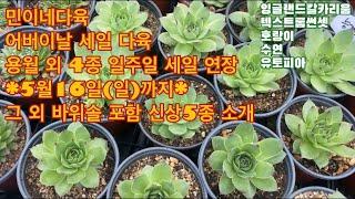 민이네다육/어버이날 세일 다육 용월 외4종 세일 연장(…