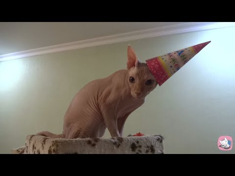 Try not to laugh or grin - FUNNY DANCING CAT - epic happy birthday dance of the Sphynx cat Casper
