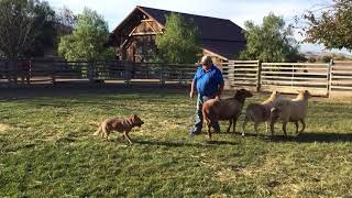 Mac Herding 120917 vid 8 bad sheep