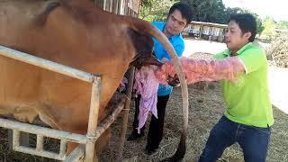 วิธีทำคลอดวัวกรณีแม่วัวหมดแรงเบิ่ง