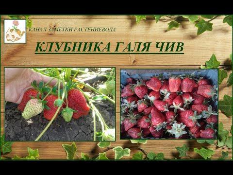 Клубника Галя Чив - урожайный сорт итальянской селекции | крупноплодные | выращивание | устойчивые | урожайные | клубники | клубника | сорта | галия | жаре | галя
