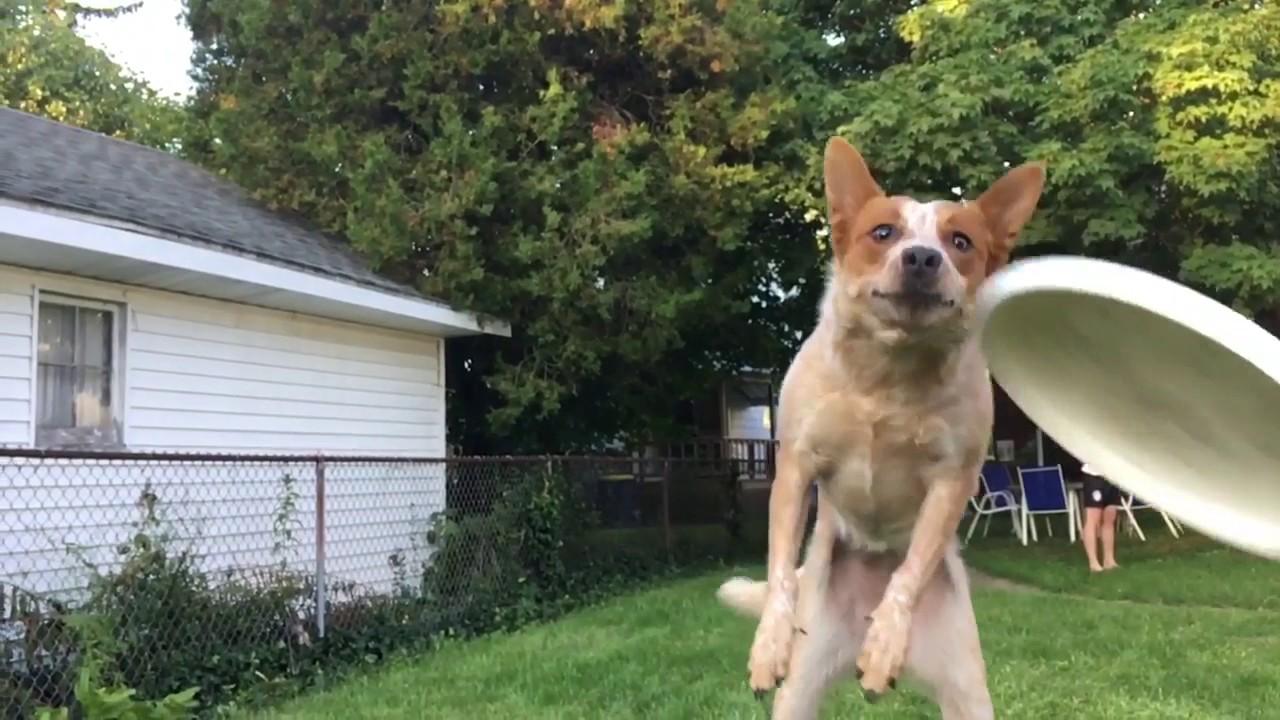 maxresdefault frisbee dog fail youtube