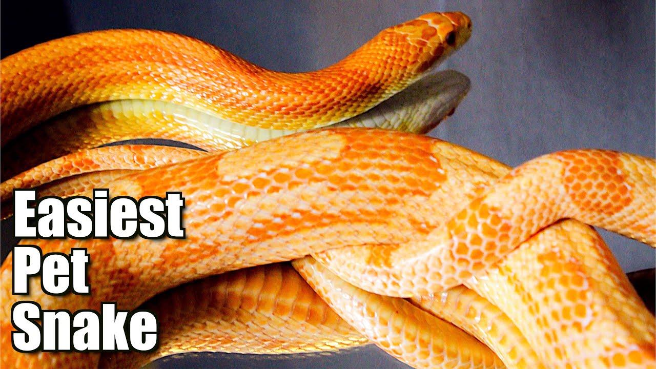 Best Beginner Snake & Giveaway!