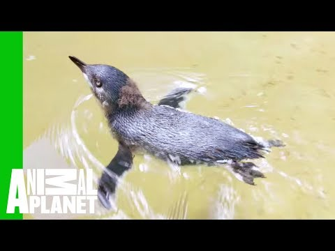 Watch This Little Penguin Chick Go Swimming For The First Time | The Zoo