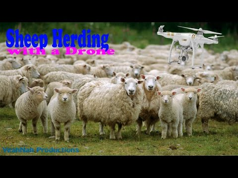 Drone Sheep Herding in New Zealand