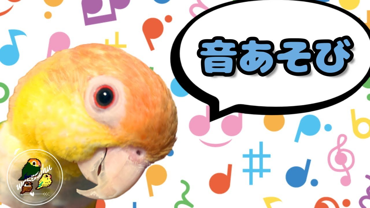 わせぉと音あそび。【シロハラインコ/caique parrot】