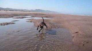 Beach Puppy (staffordshire Bull Terrier)