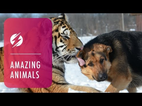 Tigers and Dogs Best Friends
