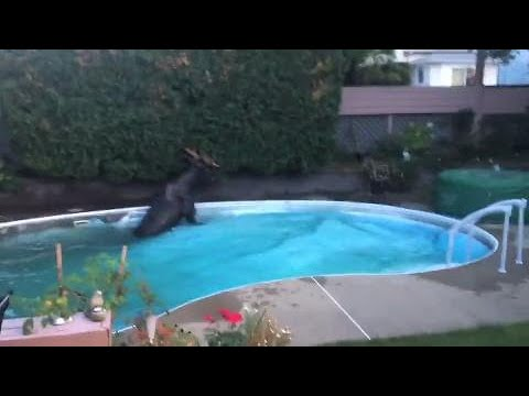 Quebec family finds BIG surprise in backyard swimming pool