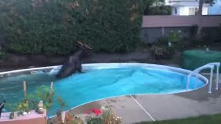 Gambar cover Quebec family finds BIG surprise in backyard swimming pool