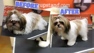 How to groom a Shih Tzu Full Groom (Non Shave Down)
