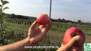 Смотреть видео Яблоня штрейфлинг