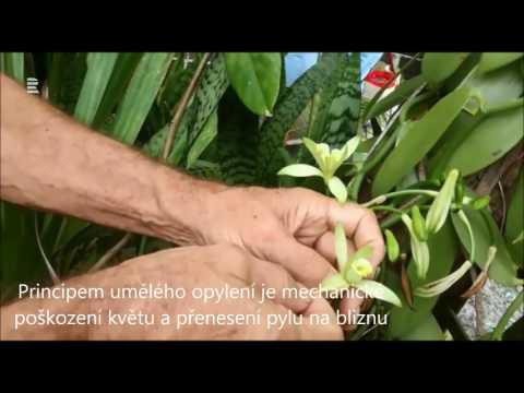 Jak se ručně opylují květy vanilky na ostrově Reunion