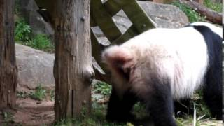 Panda pooping