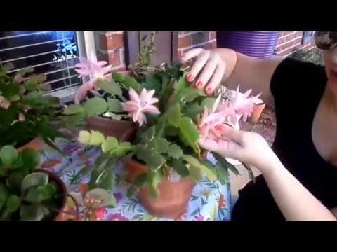 США. Цветоводство. Зацвел кактус-декабрист второй раз в году.