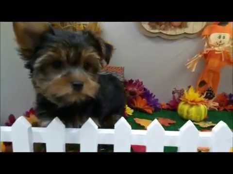 Male YorkiePoo Puppy