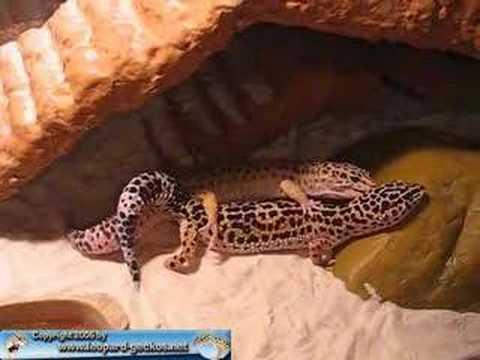 Leopardgecko Kopulation 4 - YouTube  Leopardgecko Ko...