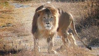 Прогулка с Олежкой. Львы. Тайган. Walk with lion Olezhka. Lions Taigan.