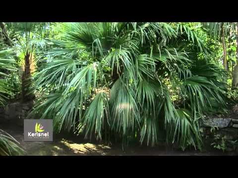 Les palmiers plantes exotiques la port e de tous youtube for Tous les plantes