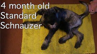 4 Month Old Standard Schnauzer | Burt updates #3
