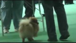 DogStatus.ru: Немецкий шпиц мин., CACIB, Россия-2009