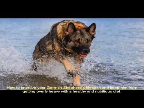 German Shepherd Breeders In Maryland Area Youtube