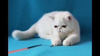 Чарли - экзотический короткошерстный котенок