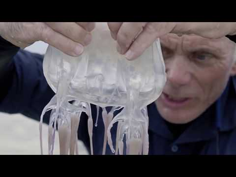 The World's Most Deadly Venom The Box Jellyfish
