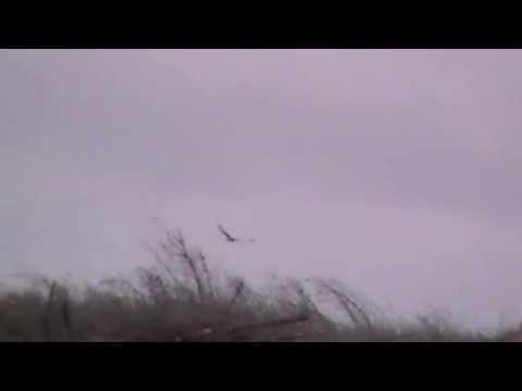 Hen Harriers - Skydancers