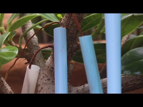 Ficus Bonsai Aerial Roots Growing Technique,The Easiest Way to Grow Air Roots, BeTheCreator, July-17
