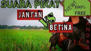 Gambar cover SUARA PIKAT MANDAR BATU,PERUK,JANTAN & BETINA(Chommon moorhen)