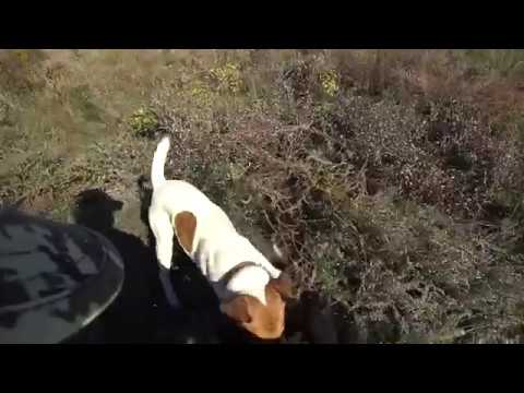 Охота на фазана с фокстерьером.Нарезка с охот.