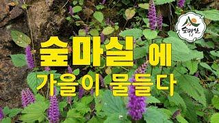 꽃향유  야생화 가을산  산림 임업 농업  단풍 숲길 …
