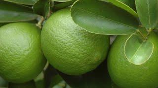 Muda de Limão Taiti para Produzir com Menos de Um Ano