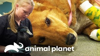 4 mascotas en la sala de emergencia | Dra. Dee: Veterinaria de Alaska | Animal Planet