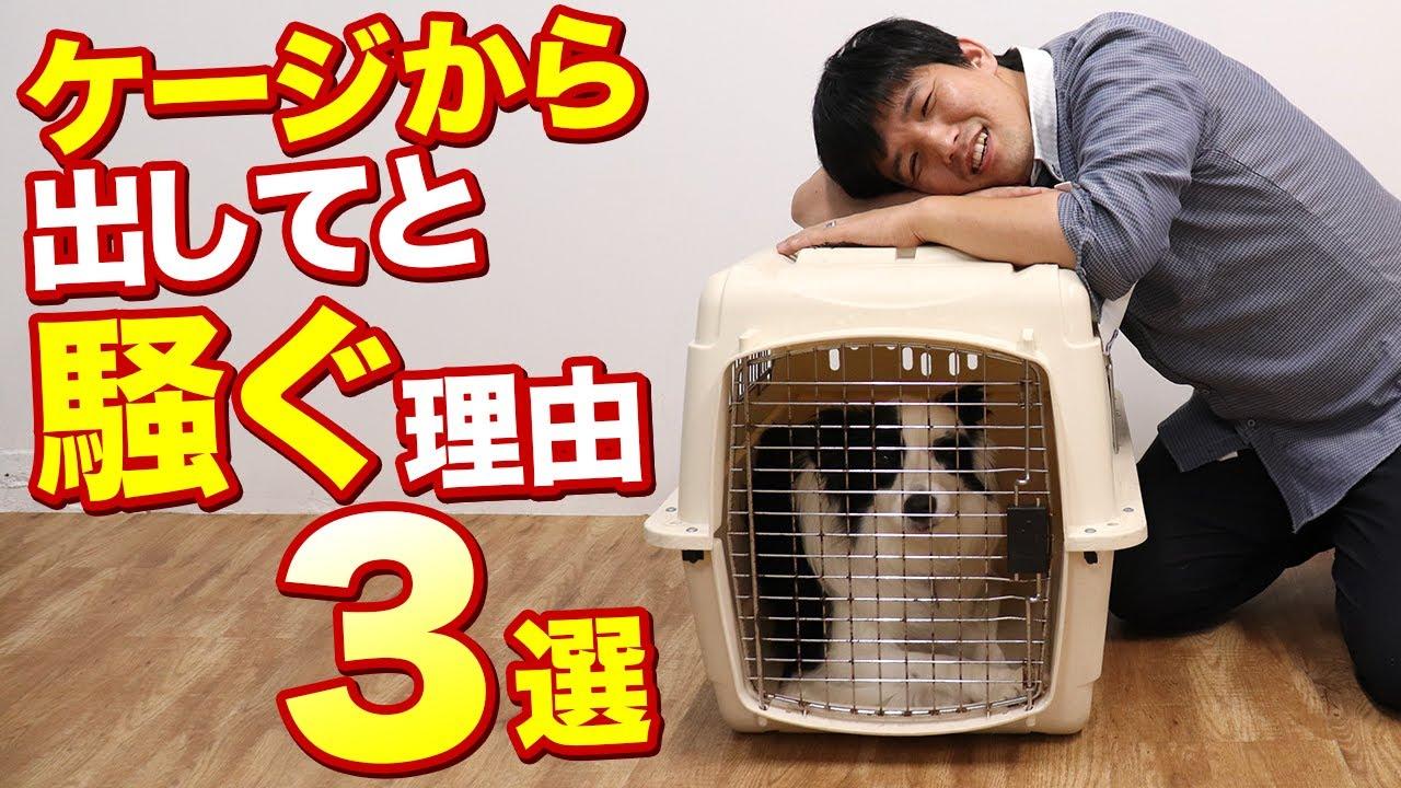 愛犬がケージから出してと騒ぐ理由3選!ワンちゃんにはケージから出たいちゃんとした理由があります!ケージ、ハウス、サークルなど
