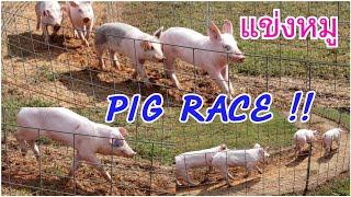 แข่งหมู ฮาได้อีก🤣 PIG RACE at Southern Belle Farm