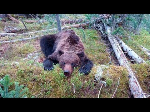 Нападение медведя на
