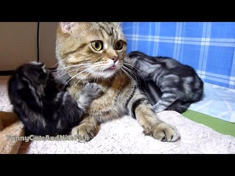 Thumbnail for Cat Video Funny Kitten Demands Attention and Petting From Mom Cat