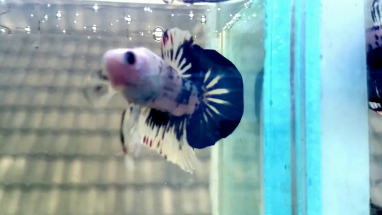 Cupang Betta Fish Fighting Fish Youtube